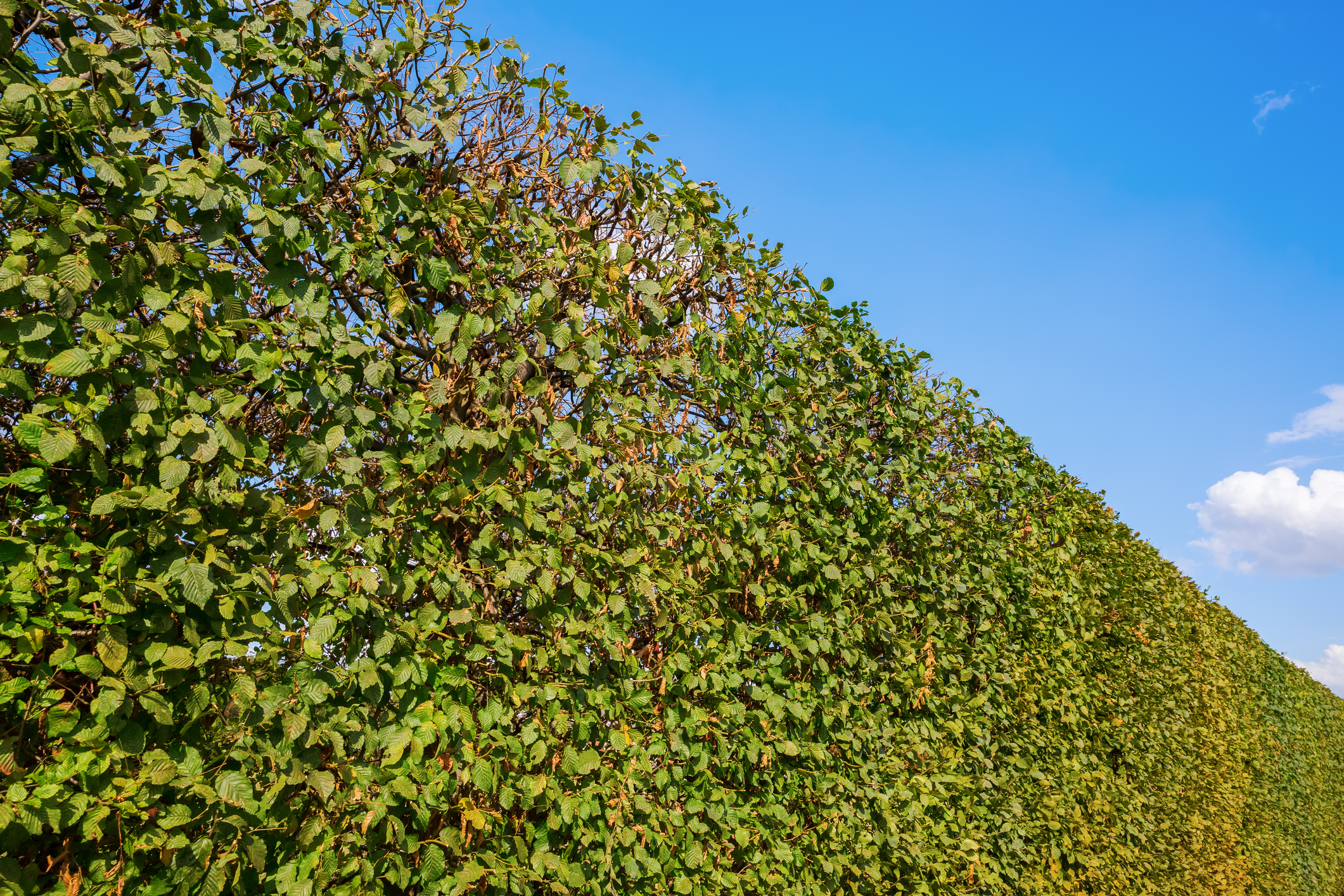 Hedge Cutting - Hedge maintenance, trimming and topping, hedge removal and more.