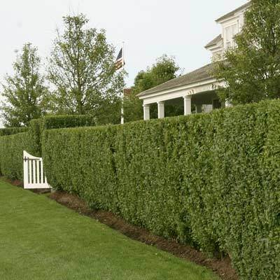 hedge trimming west wittering.jpg