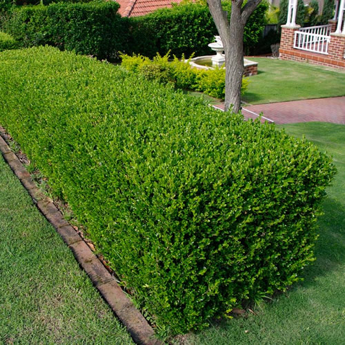 hedge trimming wittering.jpg