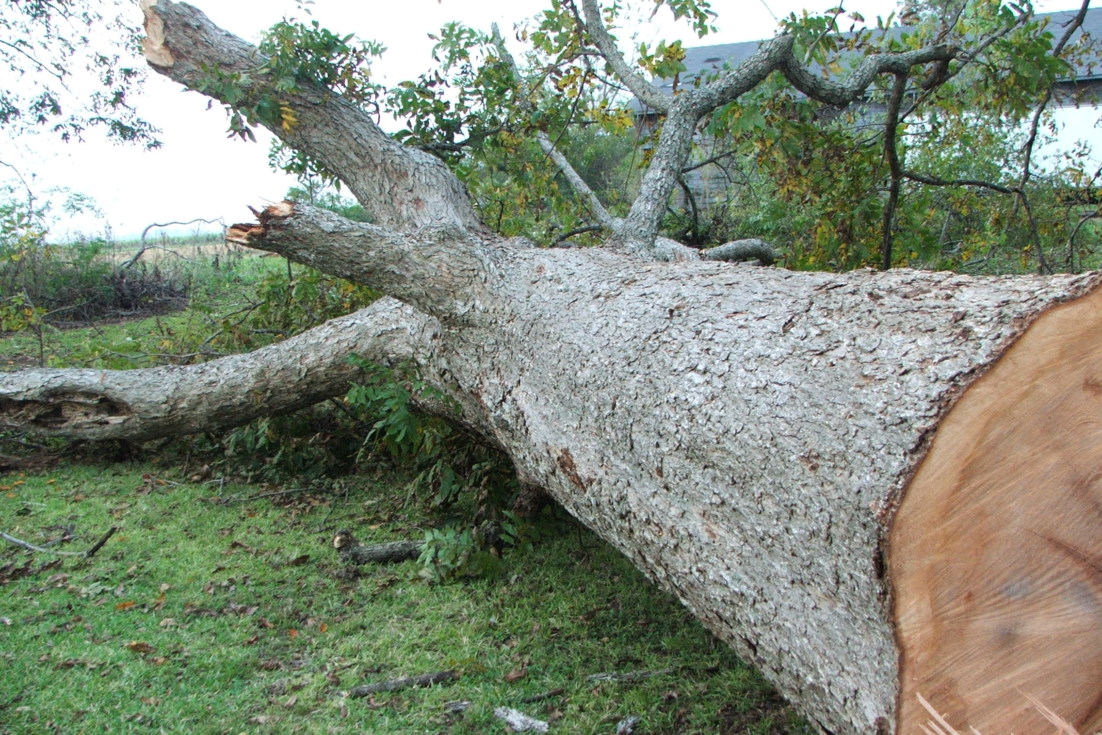 Tree Felling - Fully insured professional Arborists with years of tree dismantling experience.