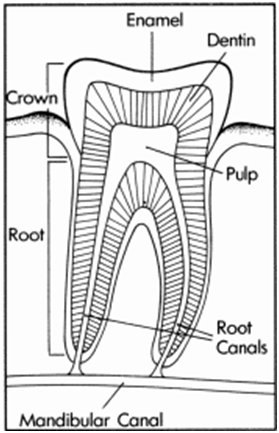 root-canal-therapy-diagram.png