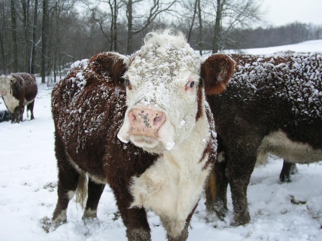 winter_cow.jpg