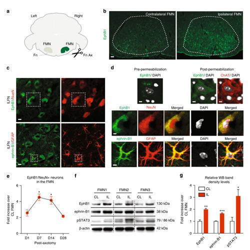 A neuroprotective astrocyte state is induced by neuronal signal EphB1 but fails in ALS models   Nature Communications  (2017)   Read It Here