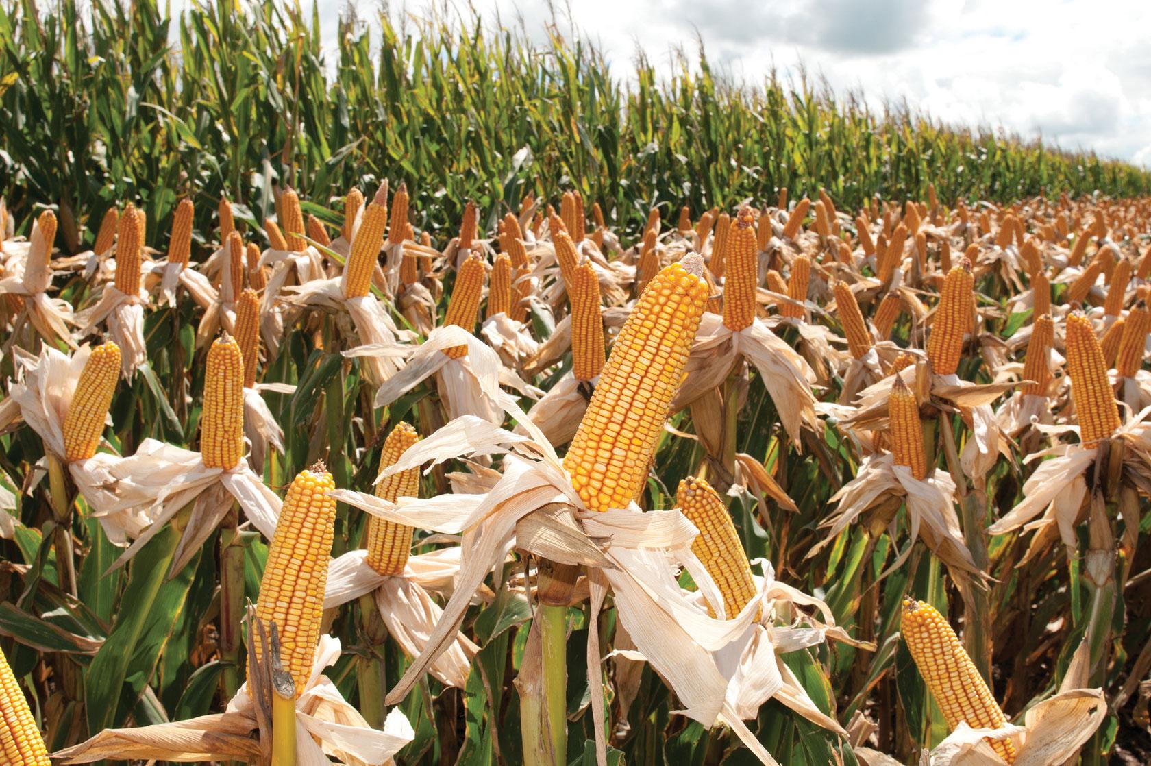 maíz guerrero