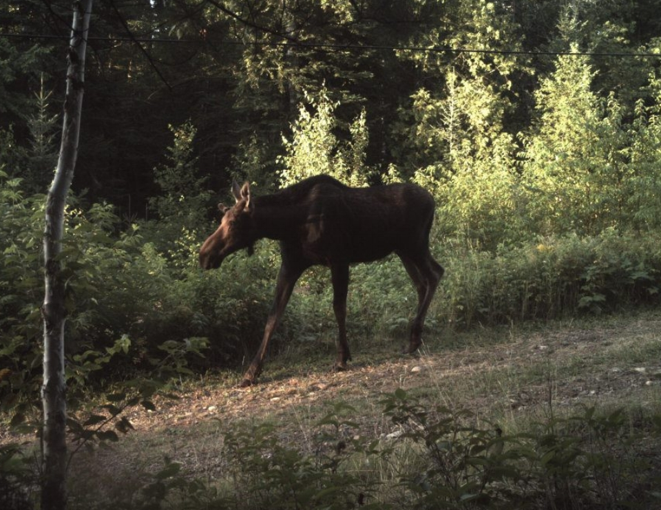 Saving Moose in a Mixed-up World - Saving Moose in a Mixed-up World is a 2017 essay by Graham Gillette examining the declining moose population in Northeast Minnesota. (Click here for essay)