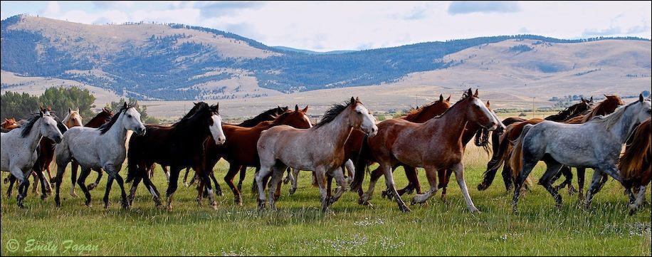 Wild horses, Montana
