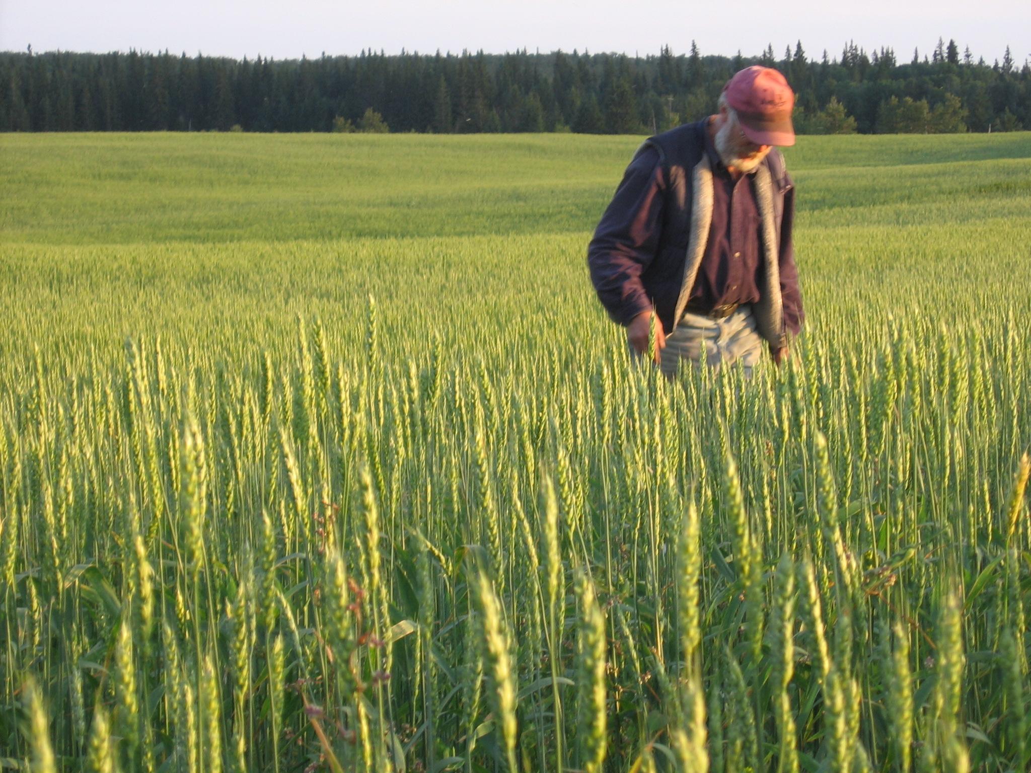 Jack in wheat.jpg