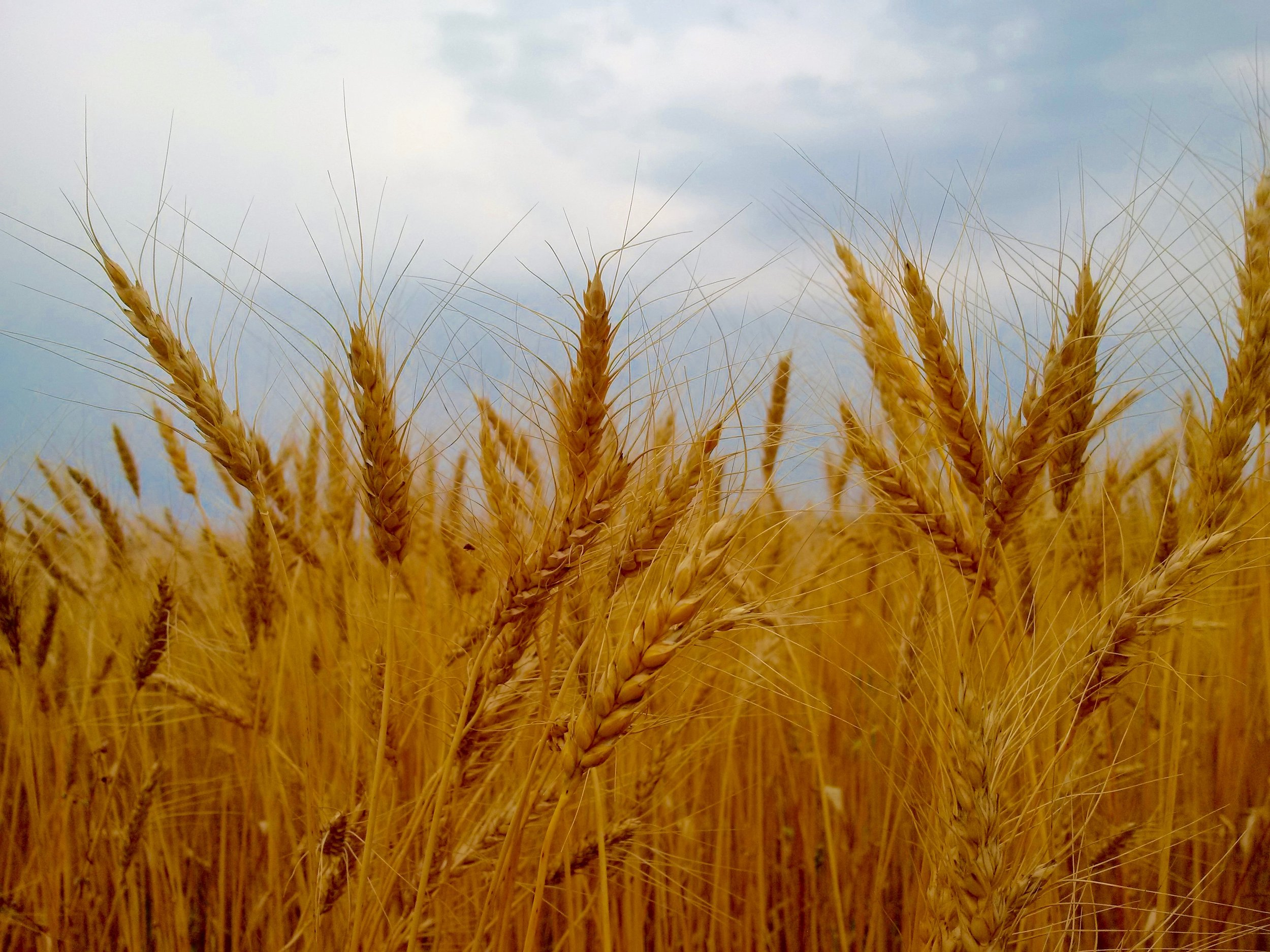 wheat heads.jpg