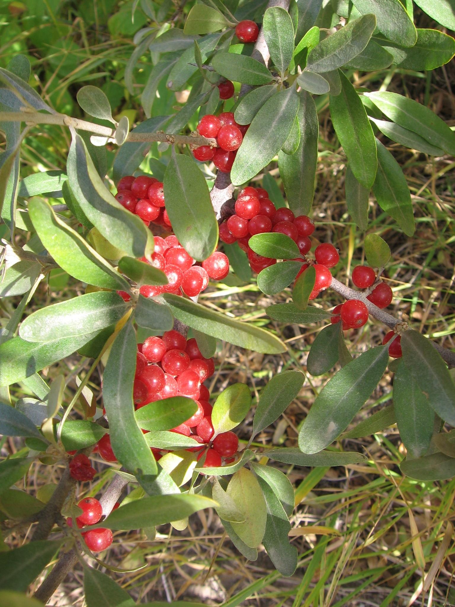 13.09.22 6 Sea Buckthorn berries.jpg