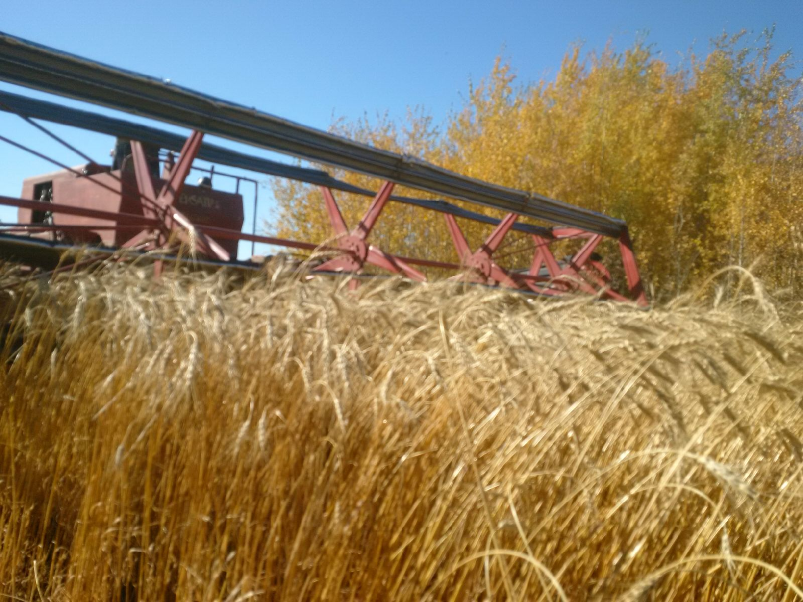 Wheat swathing.jpg