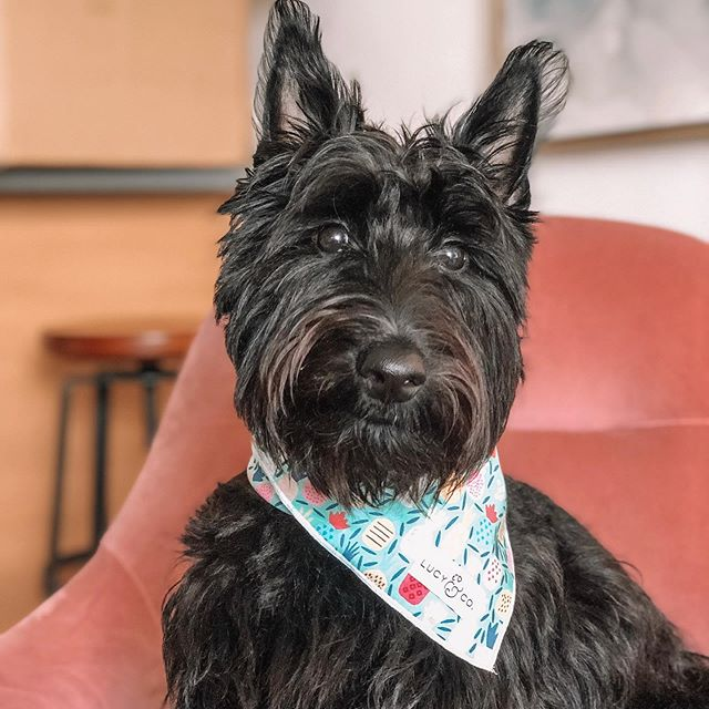 Bernie is loving her new @lucyand.co bandana! You can use code LCCONNER for 15% off! Bernie can't wait to see her stylish friends with their new bandanas too! #stylishpups #scottiedogs #scottiesofinstagram #citydog #newyorkdogs #kathleenpostpresets