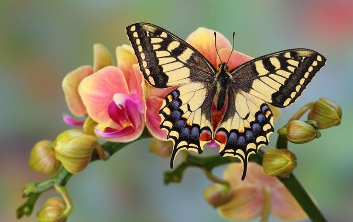 darrell-gulin-old-world-swallowtail-butterfly.jpg