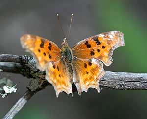 anglewing-butterflies.jpg