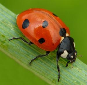 ladybug 1.jpg