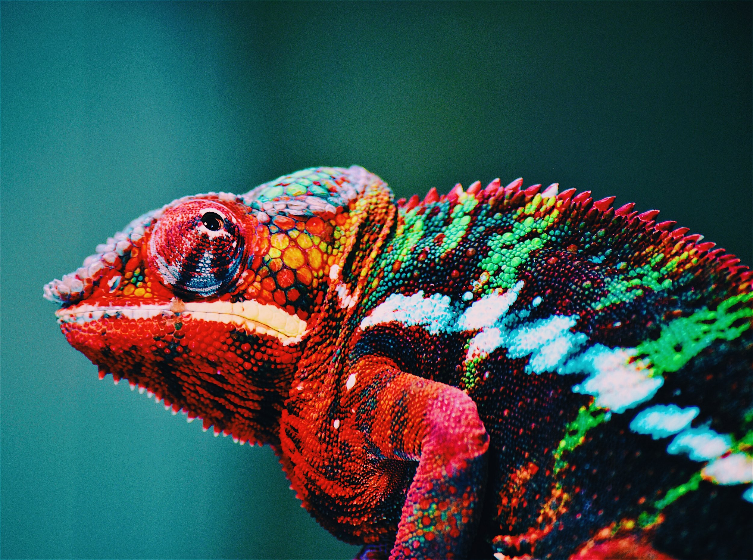 animal-blur-chameleon-567540.jpg