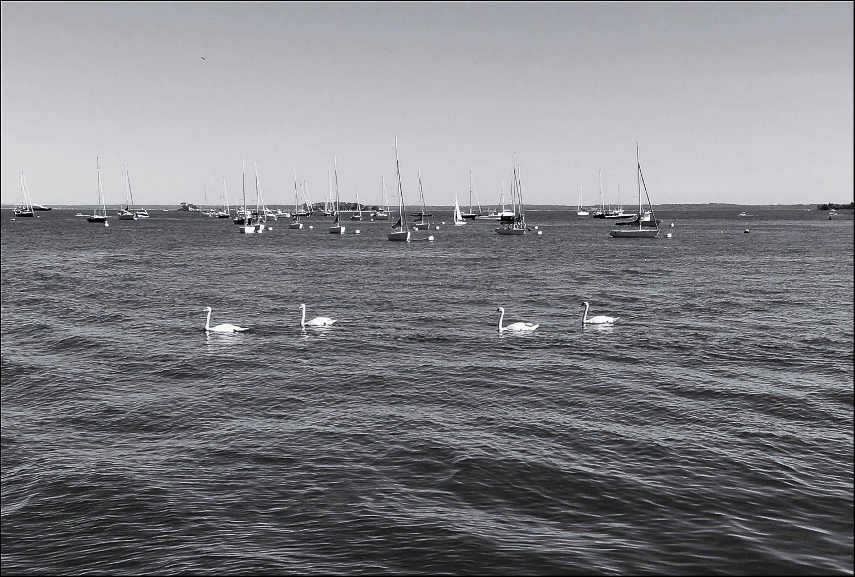 swans002bw2-1-193-137.jpg