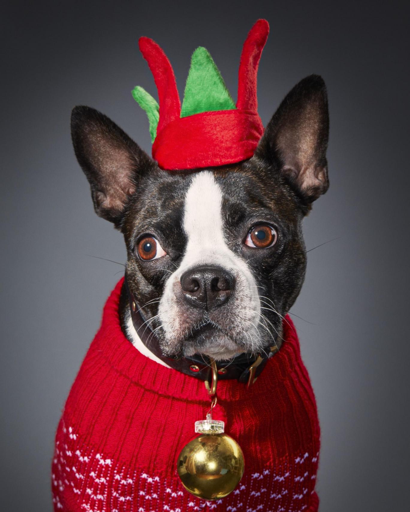 Ru the Boston Terrier