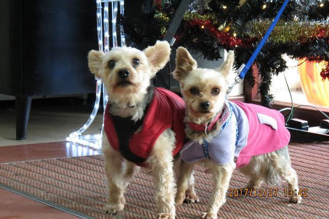 Alfie & Lilly (Yorkshire terriers, around 10 & 7 years old)