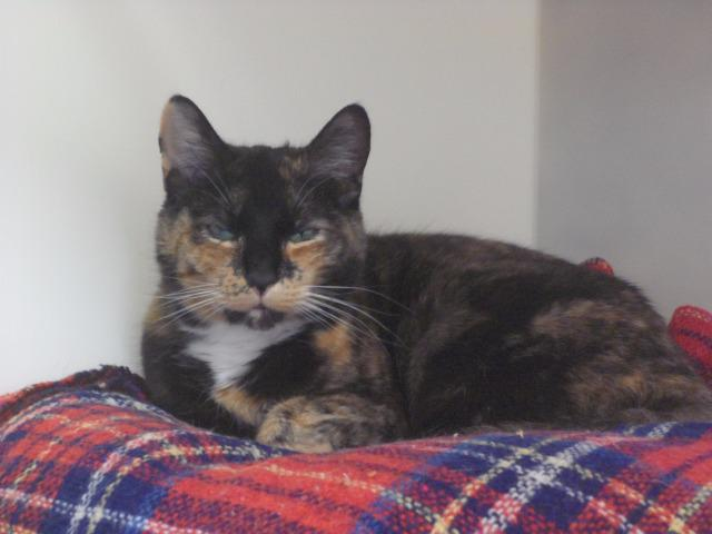 Ice Lolly (Domestic Short Hair, Female, around 8 years old)