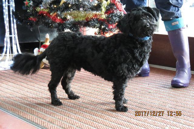 Roly, Poodle Cross, about 1 year old