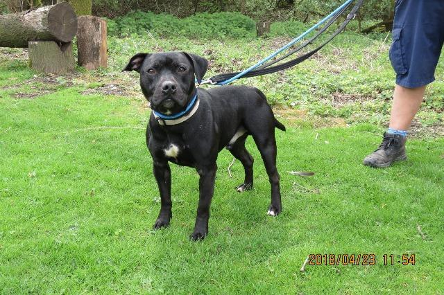 Rocky, male, Staffordshire bull terrier, about 2 years old