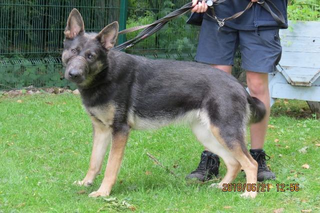 Blue, female, Belgian Shepherd Malinois/Unknown, about 10 months old