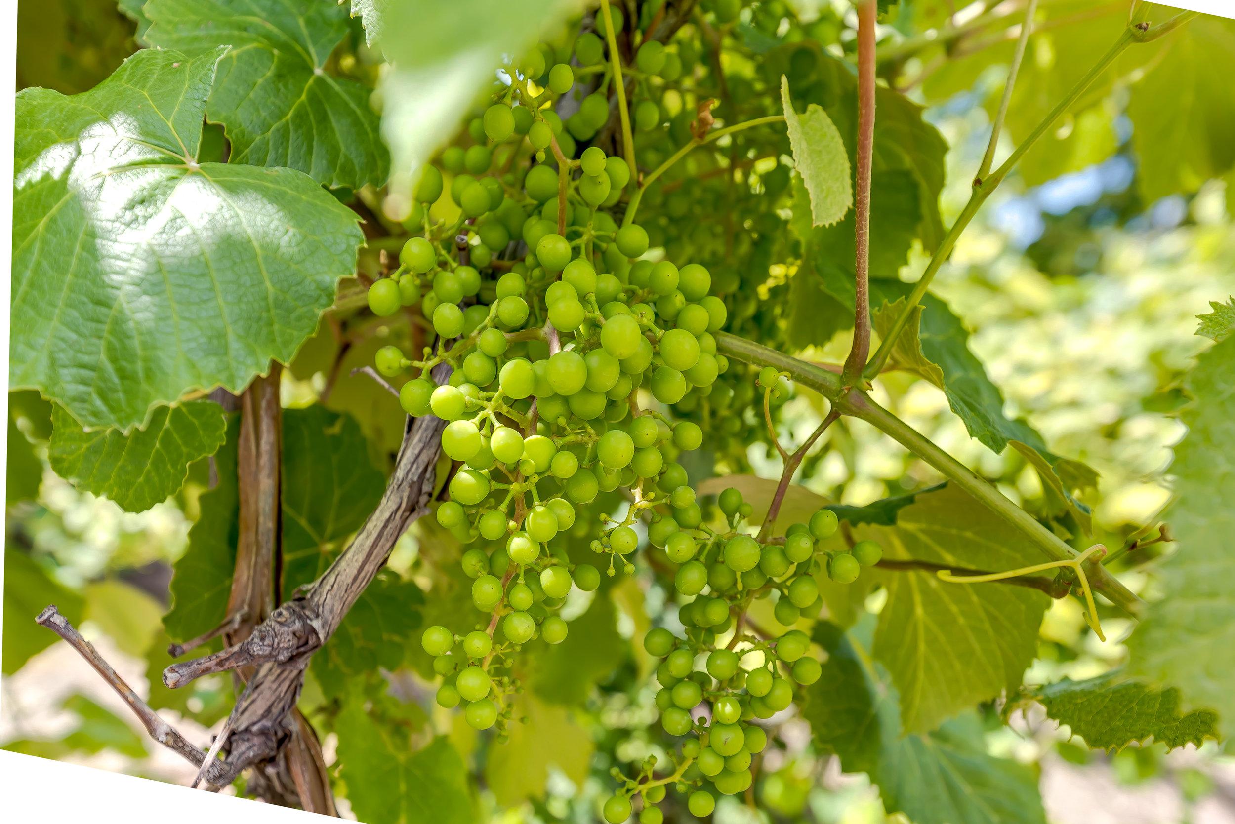 25-Vineyard.jpg
