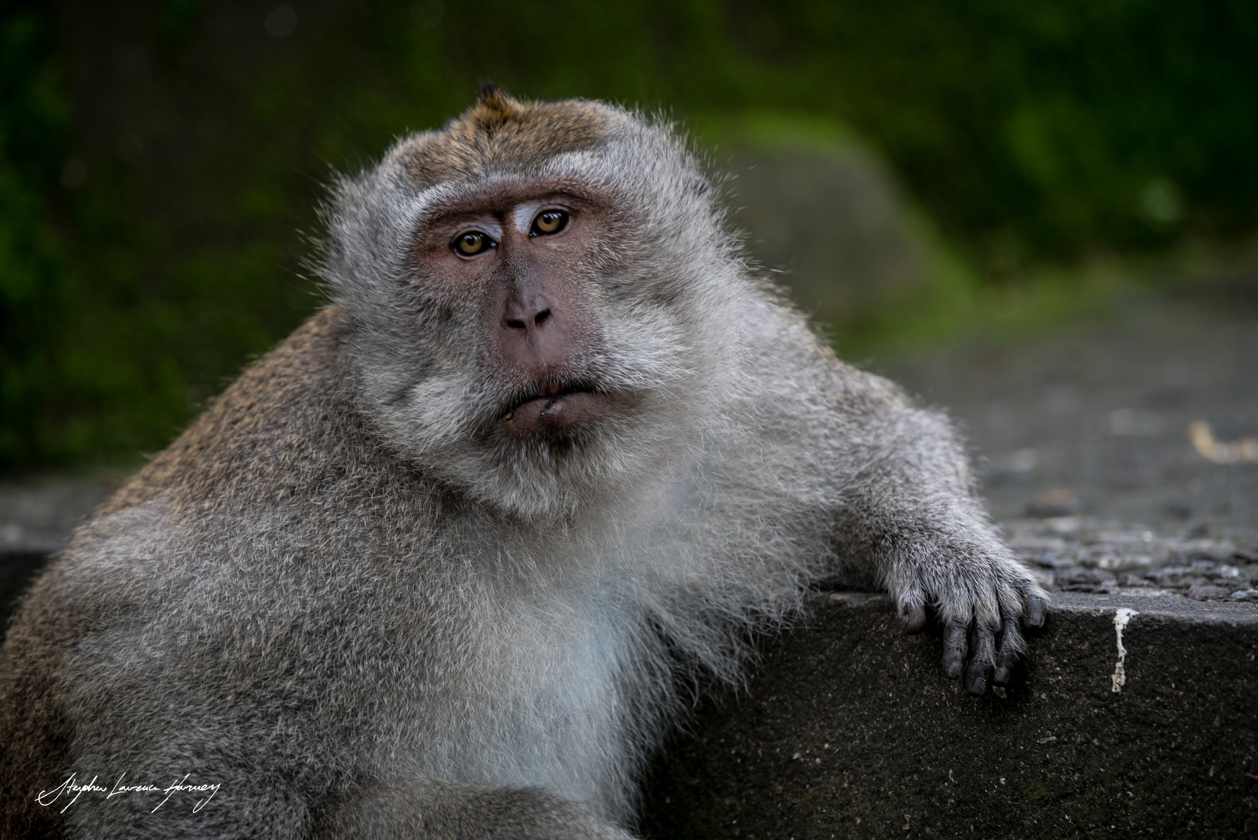 Big daddy Monkey (1 of 1) copy.jpg