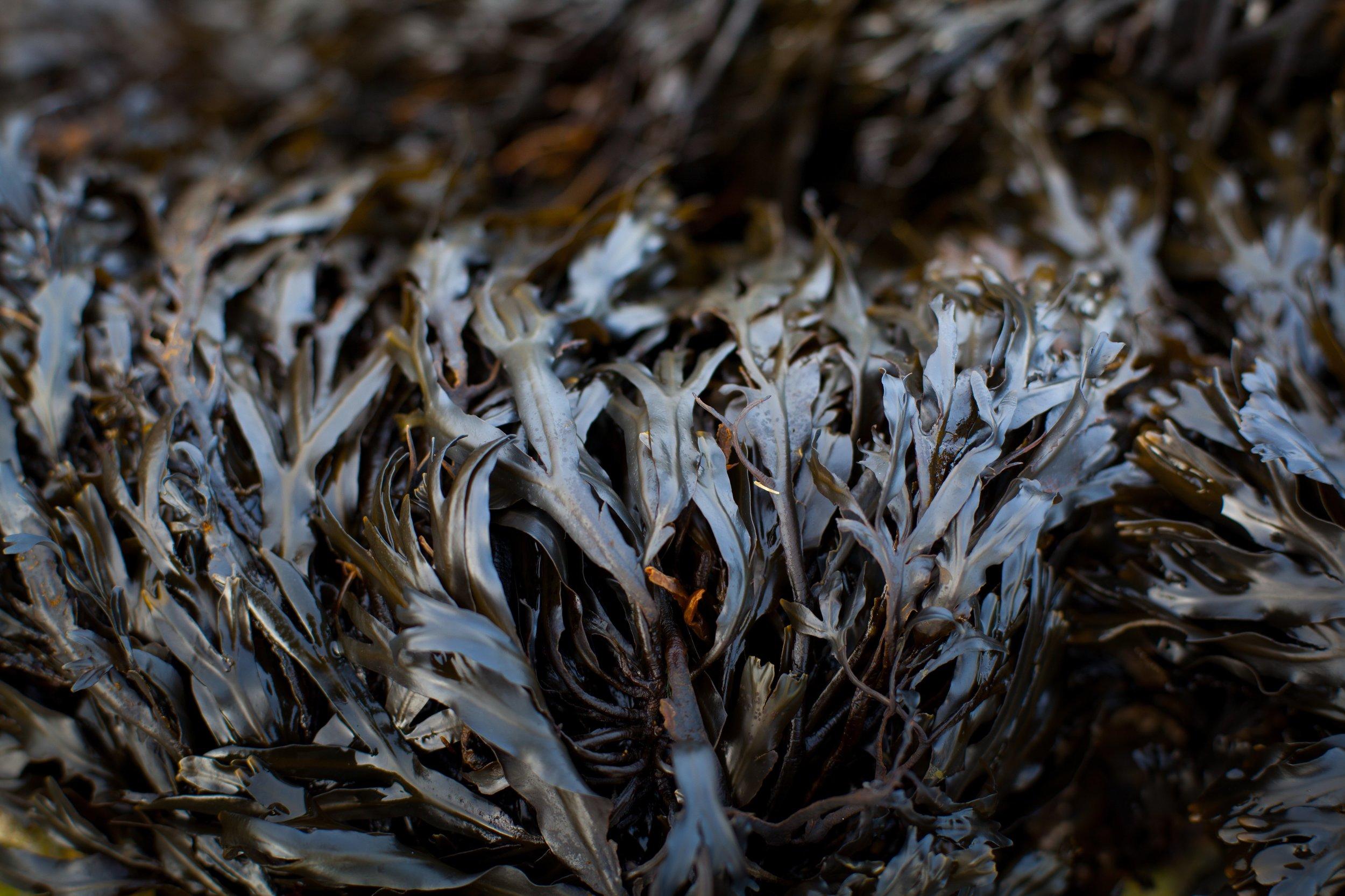 Scottish Seaweed (1 of 1) copy.jpg
