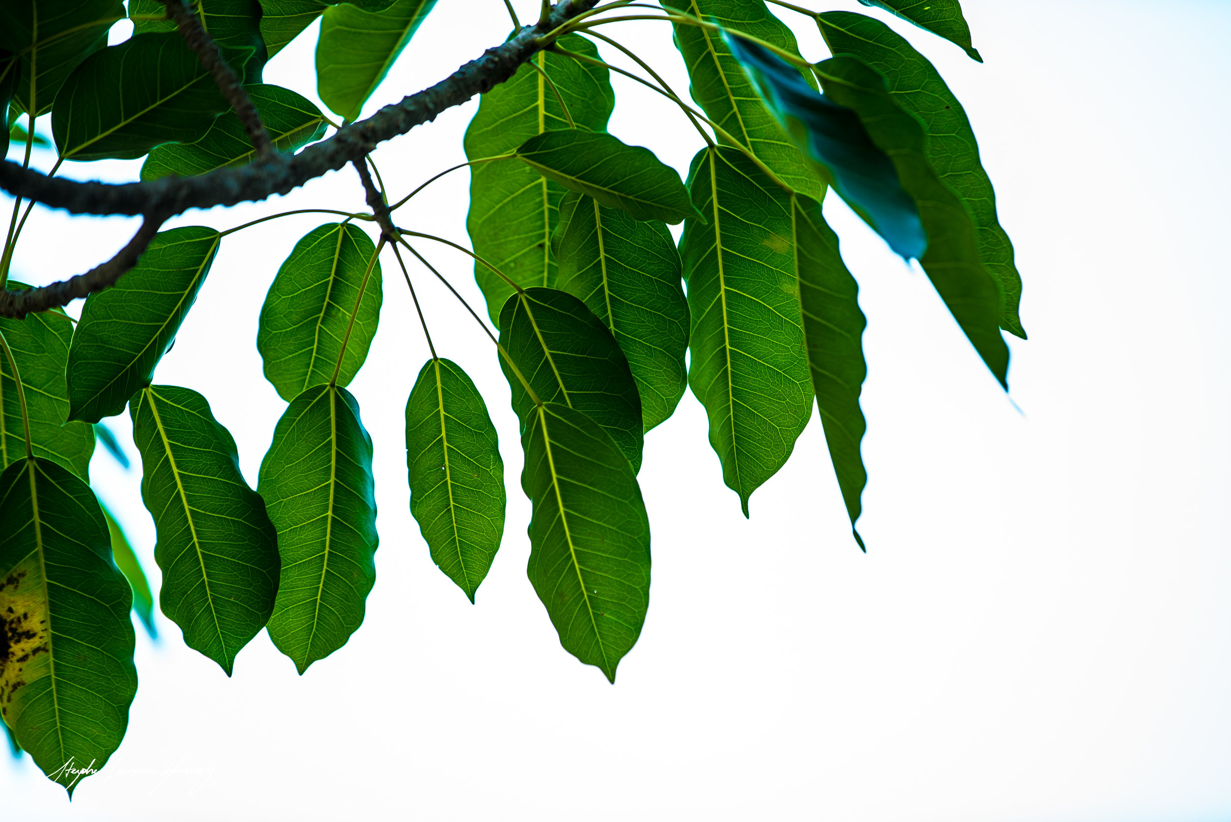 Indo leaves (1 of 1) copy.jpg