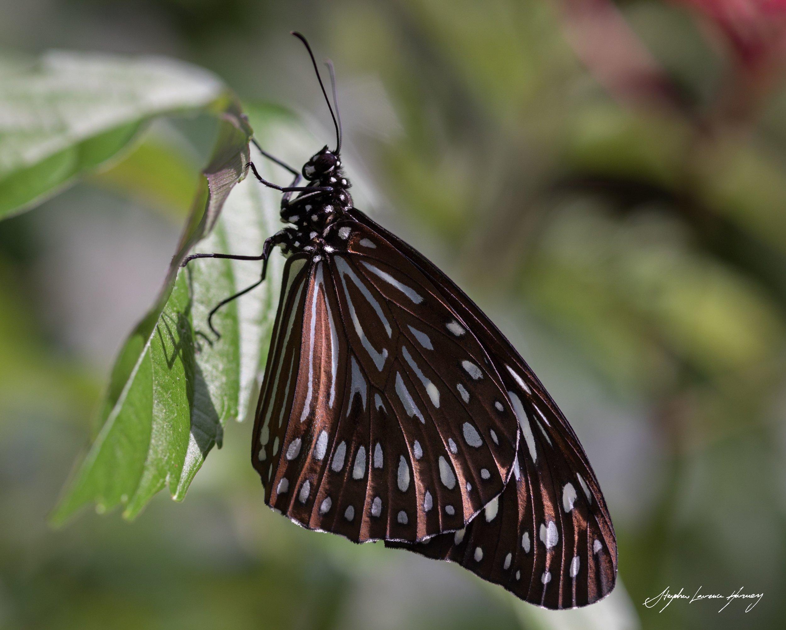 Butterfly SING 7 (1 of 1) copy.jpg