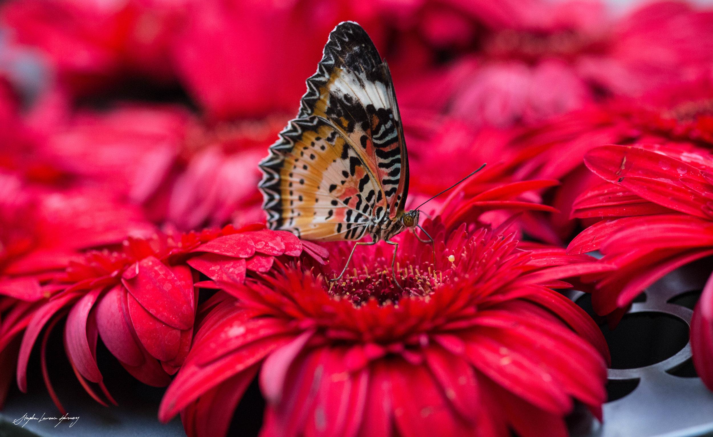 Butterfly 4 slh-1340.jpg
