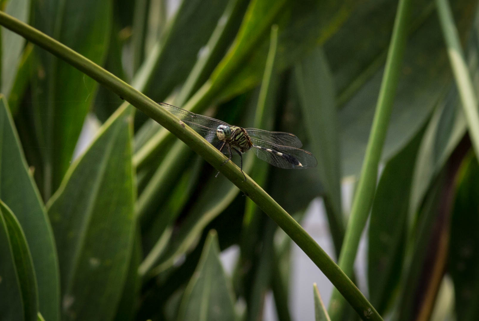 Dragonfly perched (1 of 1).jpg