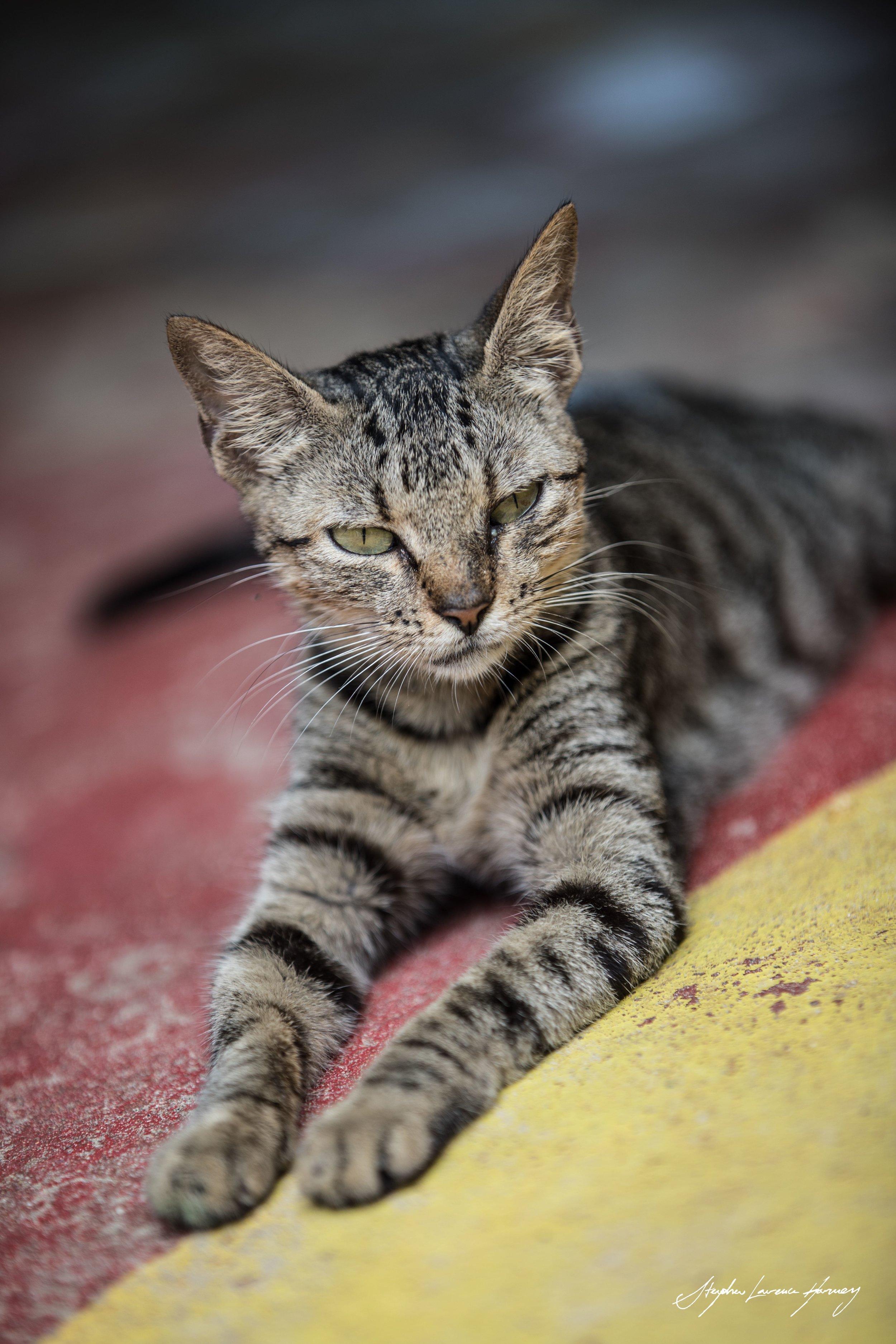 Jamaican Cat (1 of 1) copy.jpg