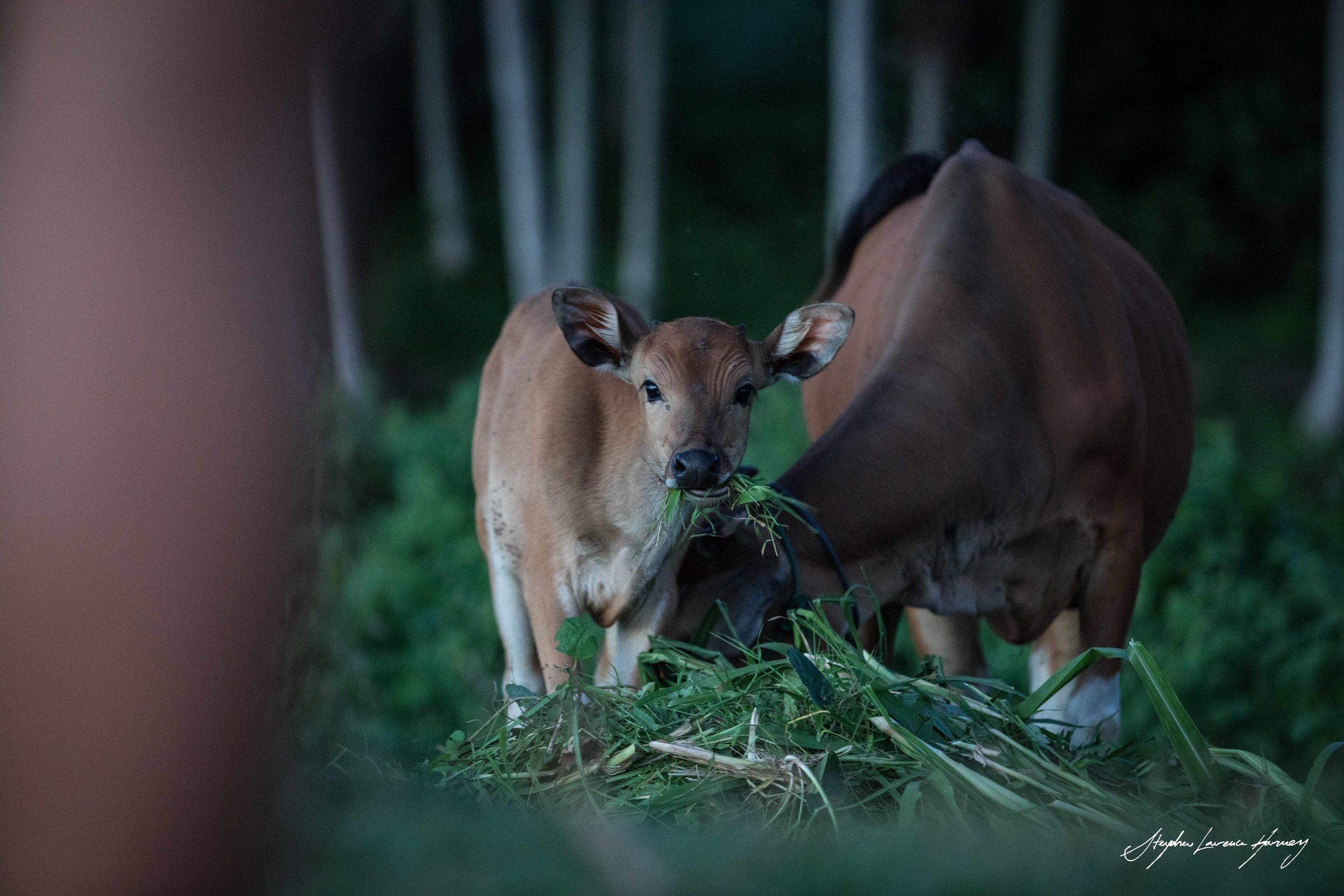 Baby Cow (1 of 1) copy.jpg
