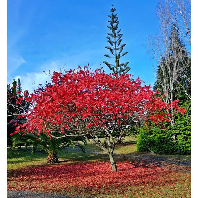 Rhus tree in Autumn # crowd stopper# whereelse # Oyster RiverRetreat