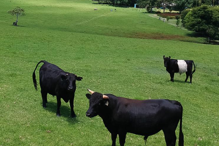 Minature+cattle-small.jpg