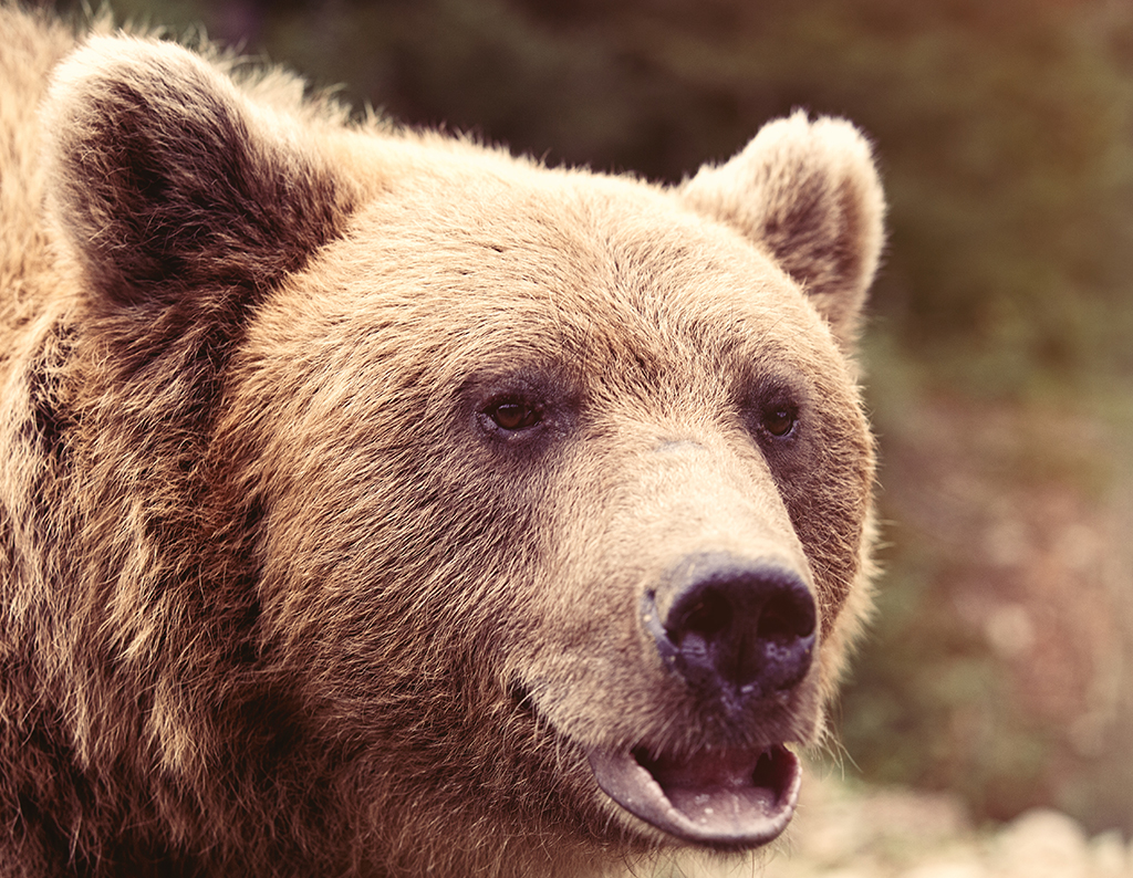 grizzly-bear-upclose-igbc.jpg