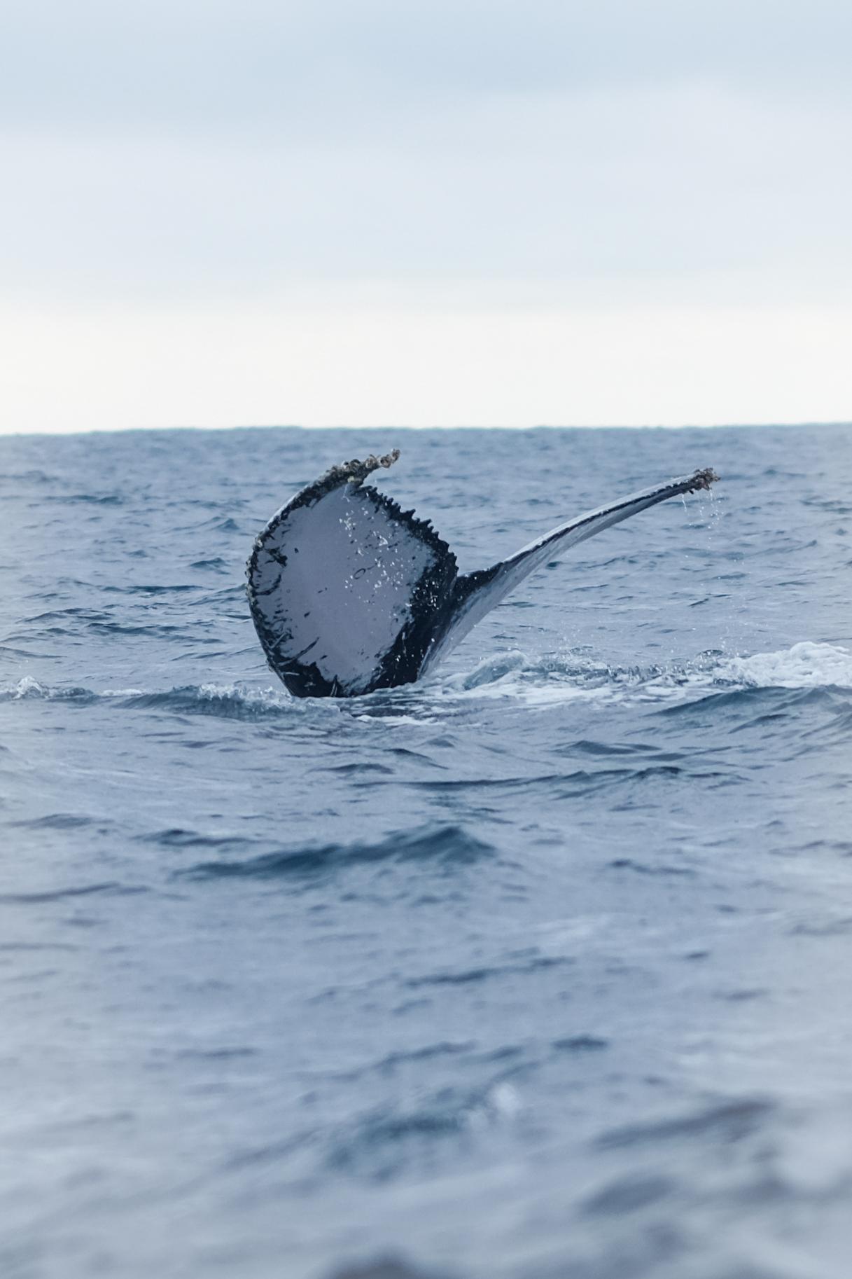 Humpback whale in Ecuador