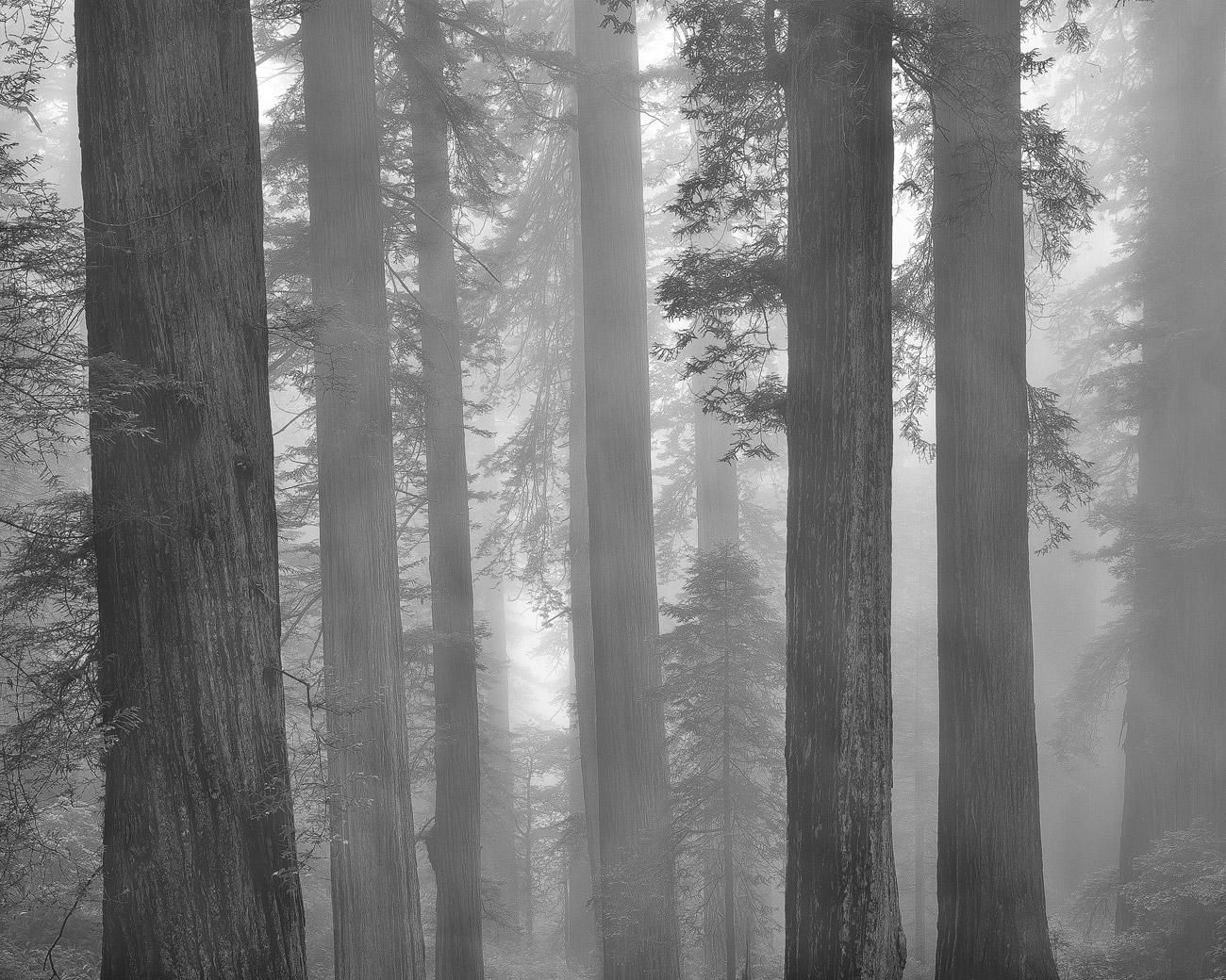 Redwoods, Californien.
