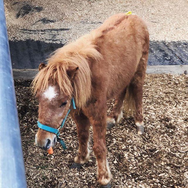 Welcome Amour de Uno ❤️ #rescuemini #horsesofinstagram #novato