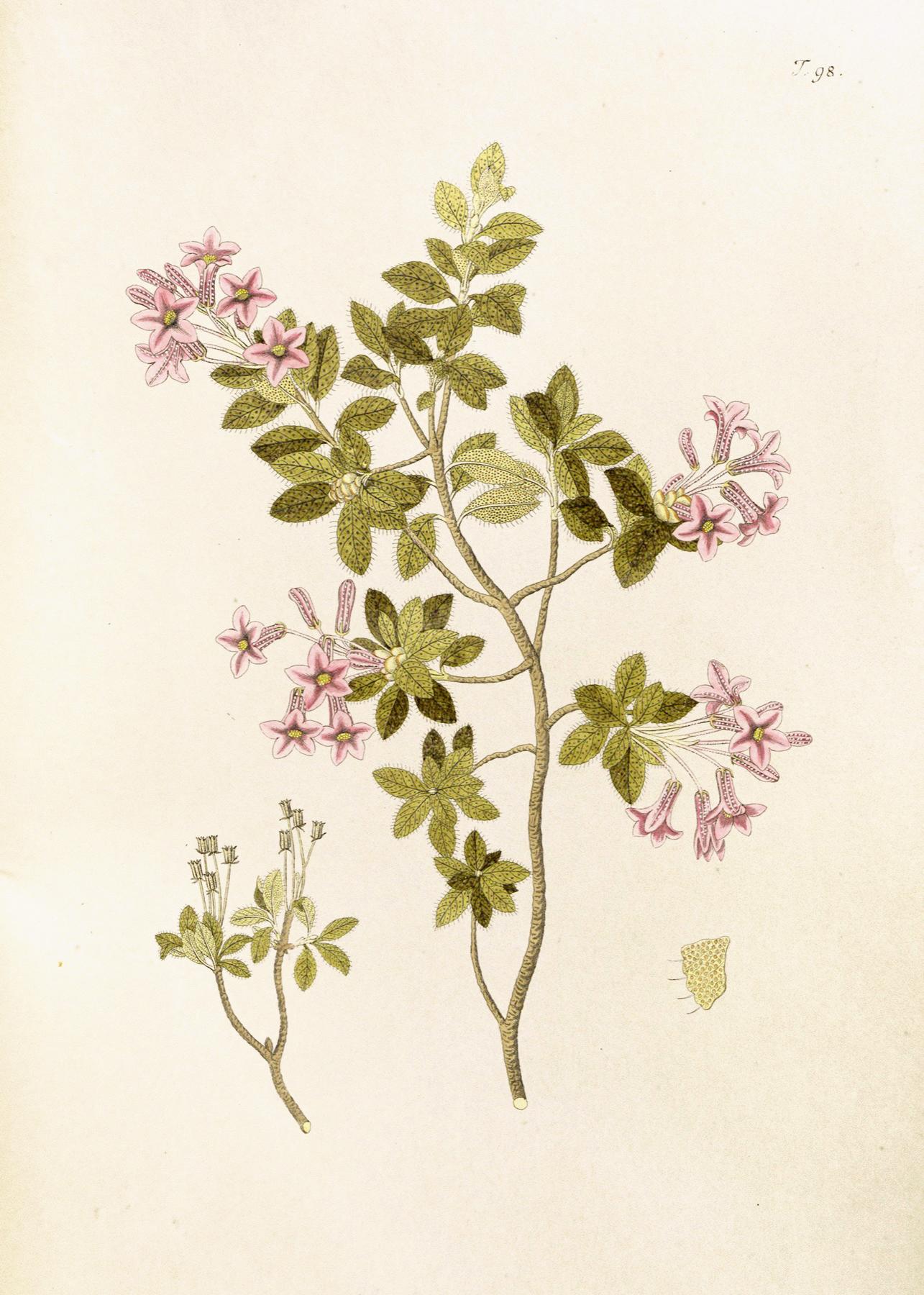 Rhododendron hirsutum icones Plantarum rariorum.jpg