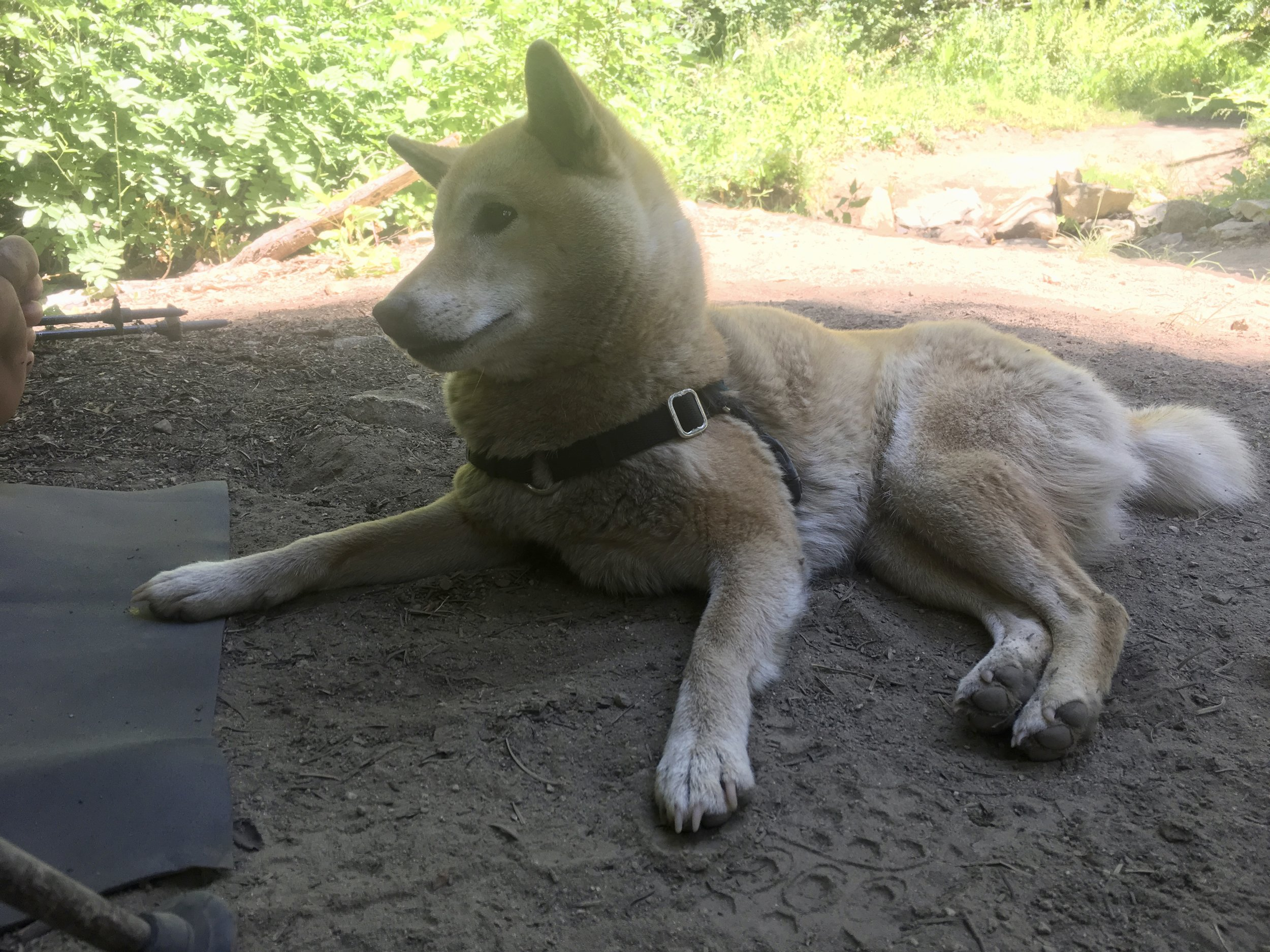 Kora, Steel's doggy hiking partner, enjoying a shady lunch break in Northern California.