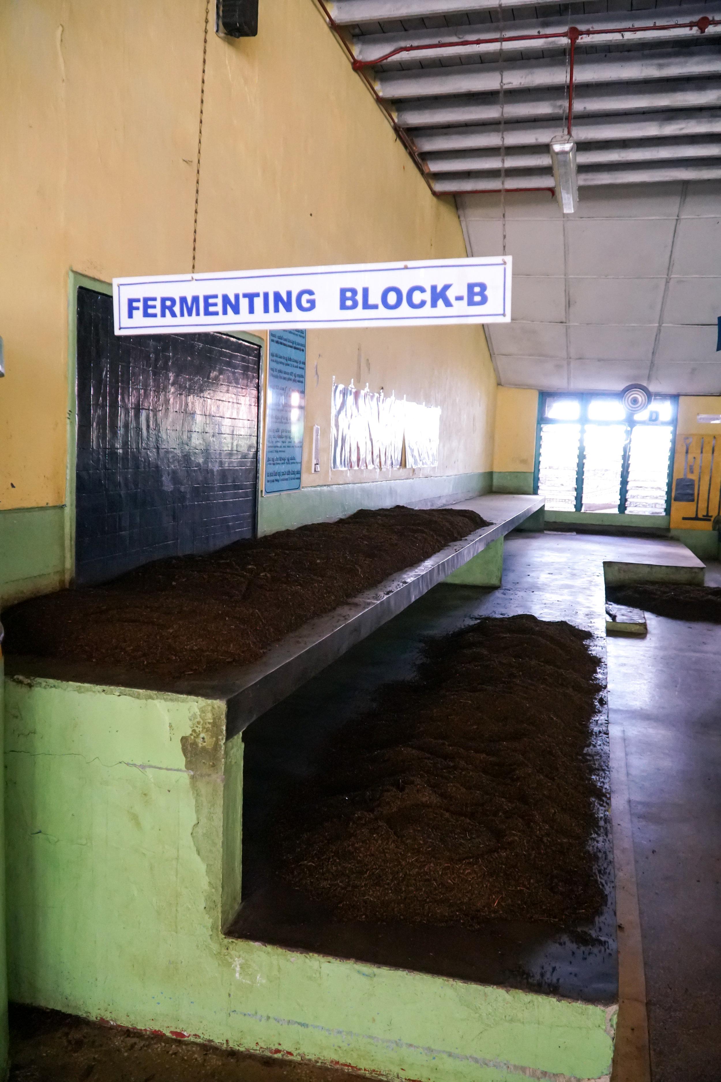 Jauhetut teelehdet jätetään fermentoitumaan. Tässä vaiheessa niihin muodostuu luonnollisesti kofeiinia.