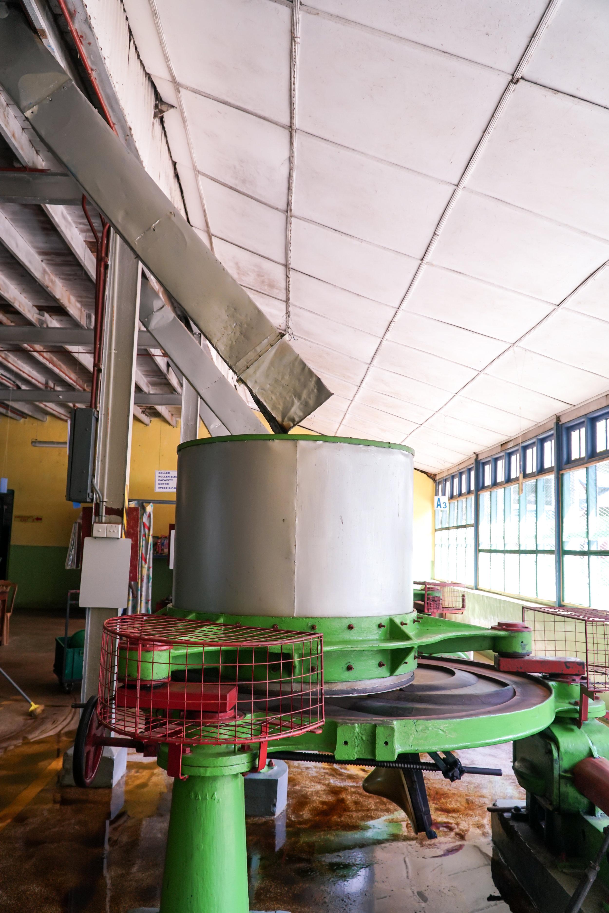 Esikuivatetut teelehdet jauhetaan ennen fermentointia.