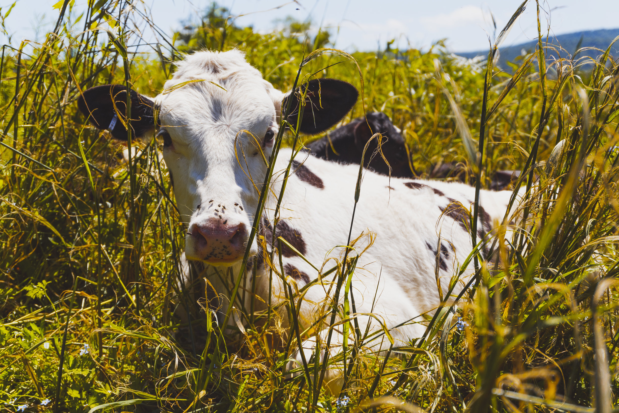 EESPINO_03212019_THEDELAWARERIVER_COW_MULTI_.JPG