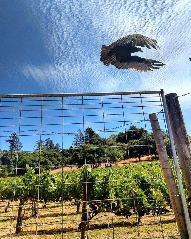 Andrew snapped this shot of a turkey vulture taking off while at the Pinotage vineyard last week. We are 1-2 weeks away from bringing fruit in! #wine #winelover #instawine #sonomacoast #sonomacounty #grapes #vineyard #pinotage #wino #vino