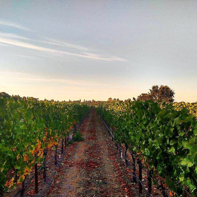 Early morning shot in the Russian River! #russianriver #winecountry #winelover #instawine #vineyard #harvest2019 #cheers