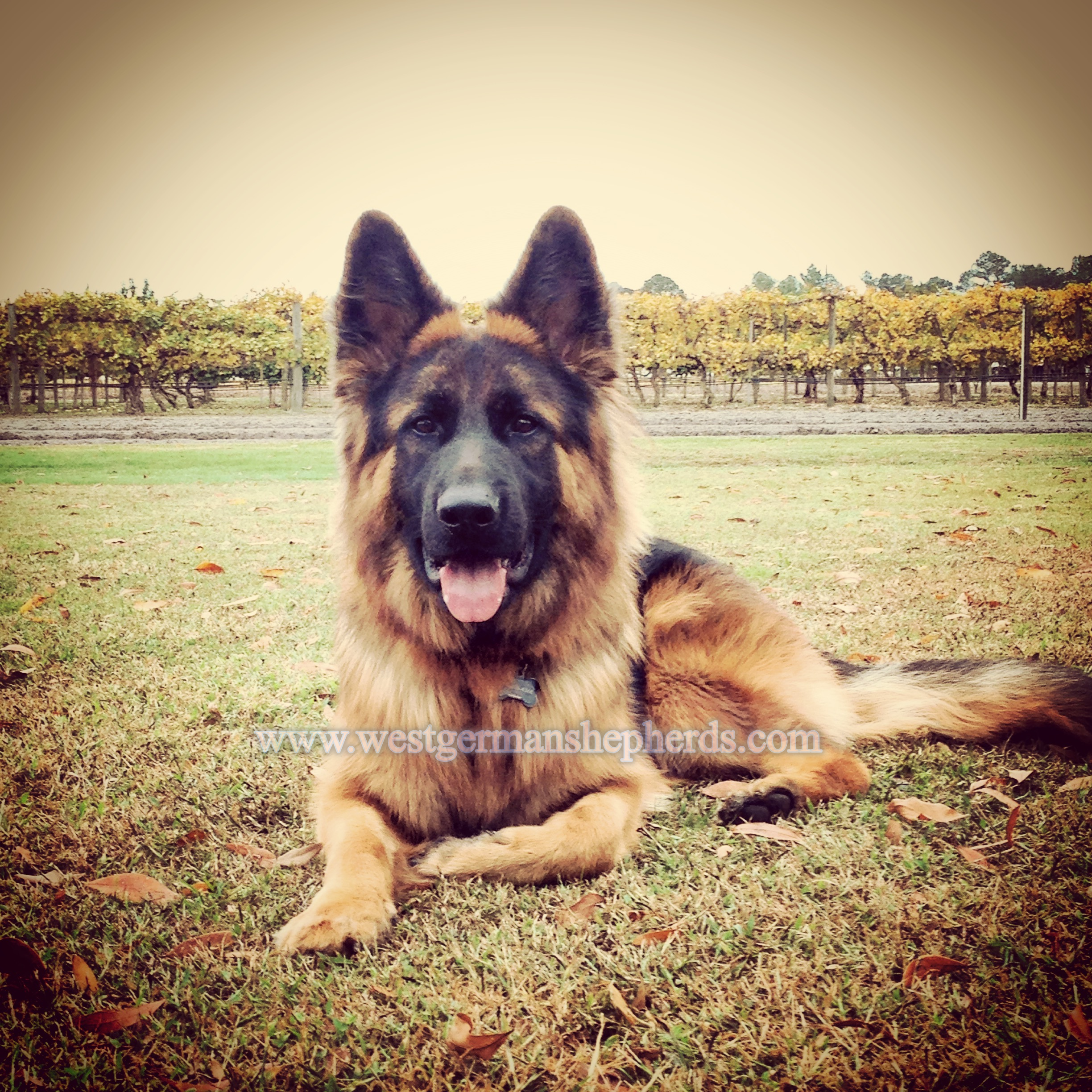 waylon holds a down command while touring a vineyard