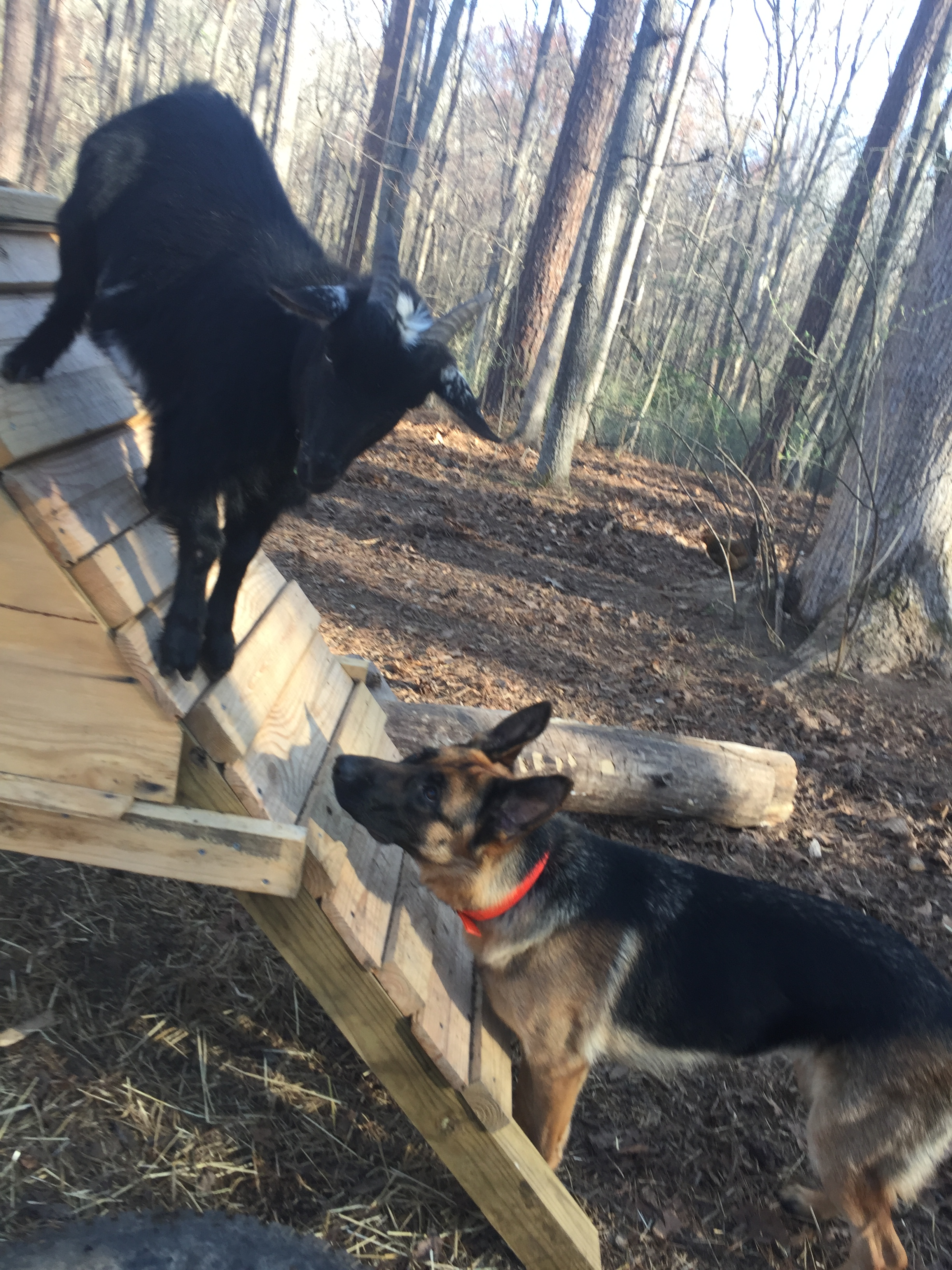 peppin earns her keep by working on a farm, her rounds include checking on the goats